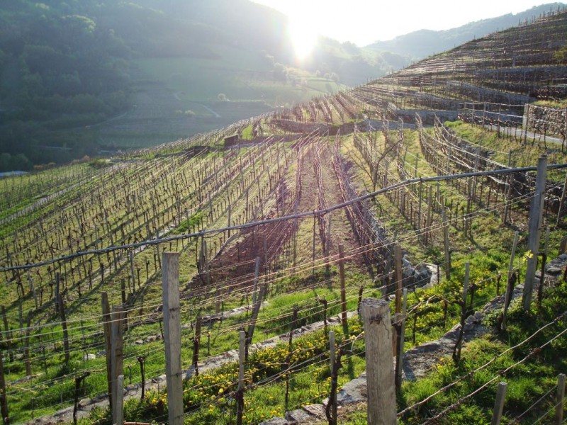 Bruck Vineyard, located in the Spitzer Graben